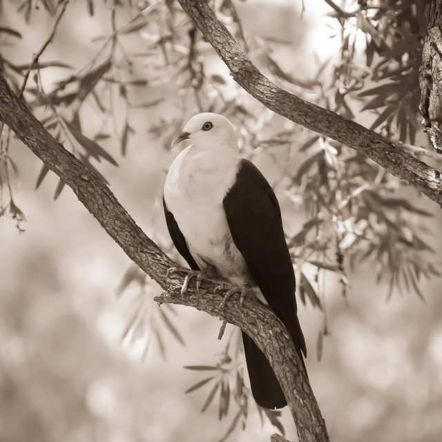 """""""White headed pidgeon"""" stock image"""