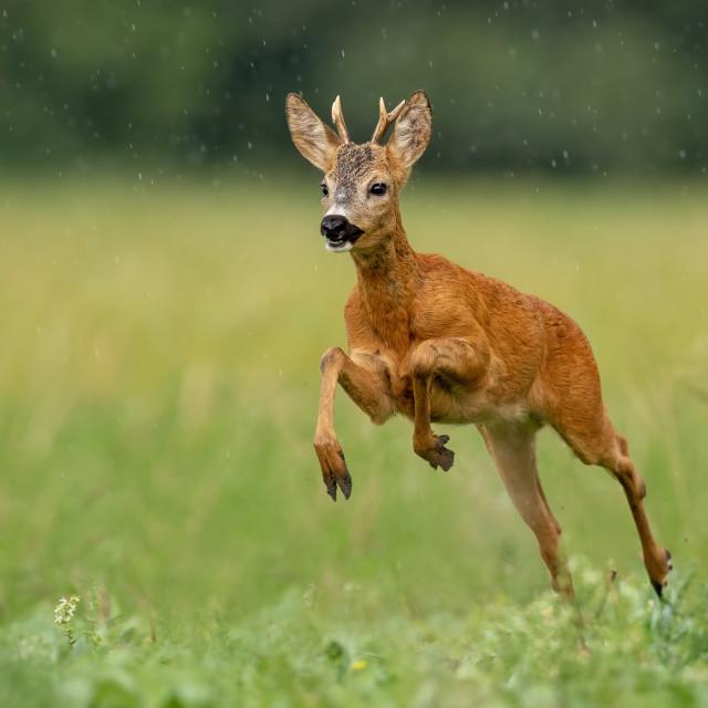 """Roe deer buck running fast across green field in light summer rain"" stock image"