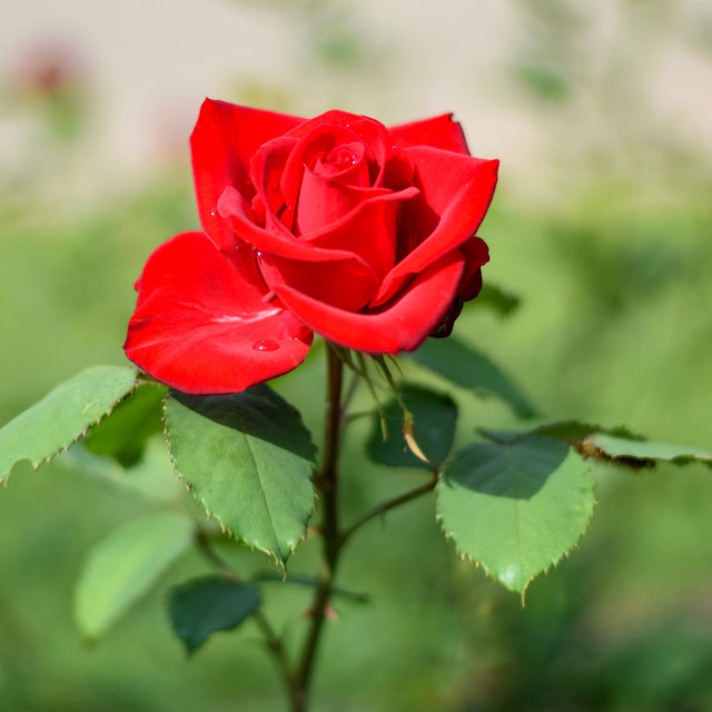 """""""Bright Red Rose"""" stock image"""