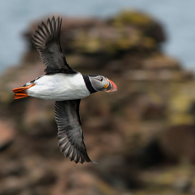 """Atlantic Puffin seen in Elliston, Newfoundland Canada"" stock image"