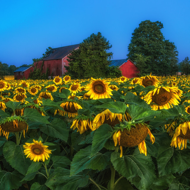 """Sunflower field just after sunrise"" stock image"