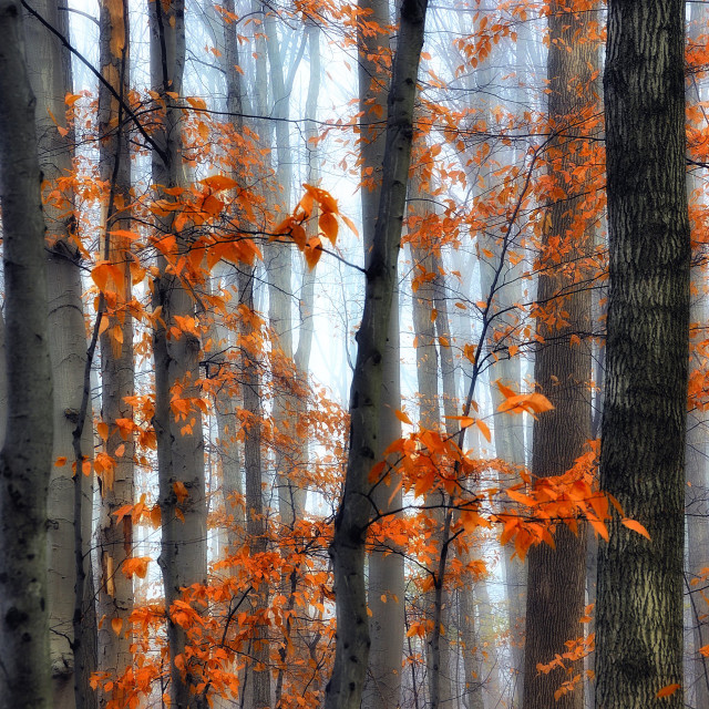 """Trees Through the Fog"" stock image"