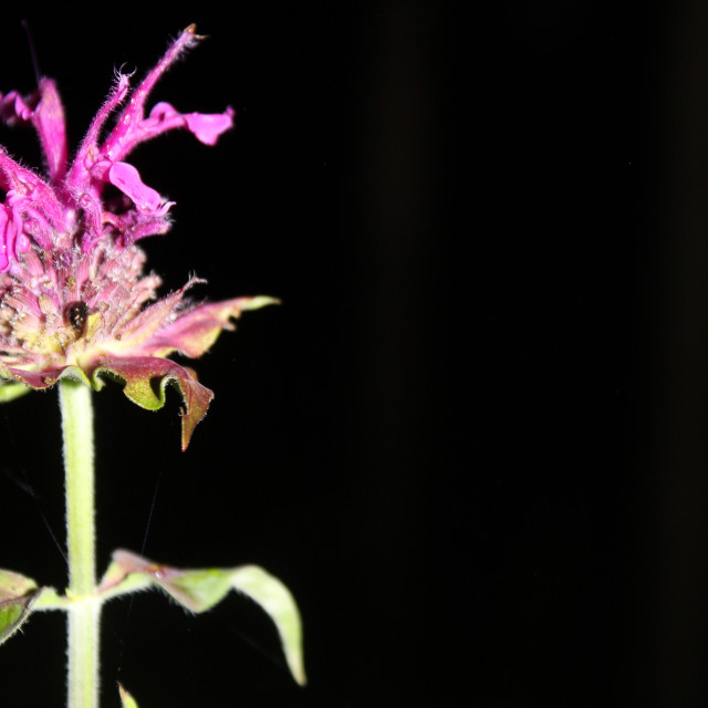 """purple flower in black background"" stock image"