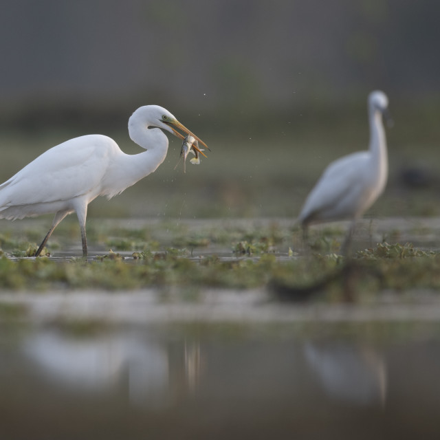 """Great egret with Big Catch"" stock image"