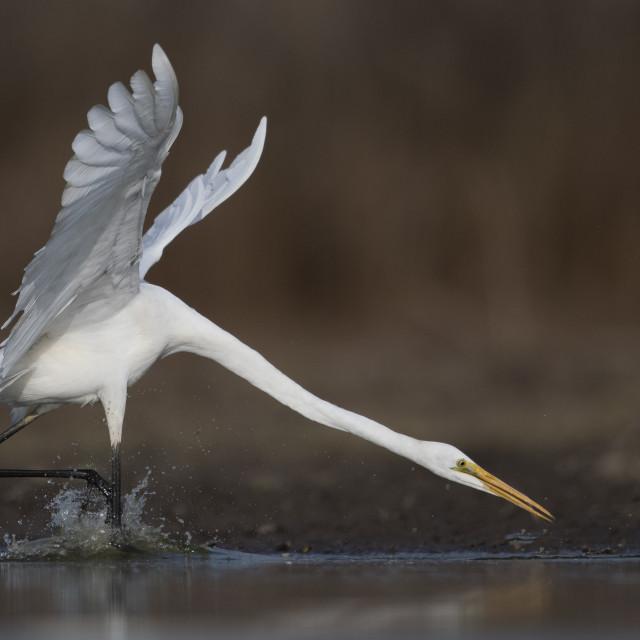 """The Great White Egret at Sunrise"" stock image"