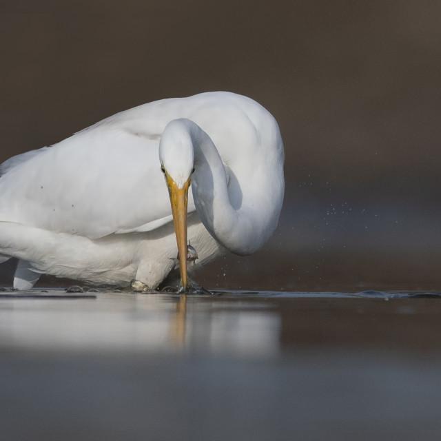 """""""The Great White Egret fishing at Sunrise"""" stock image"""