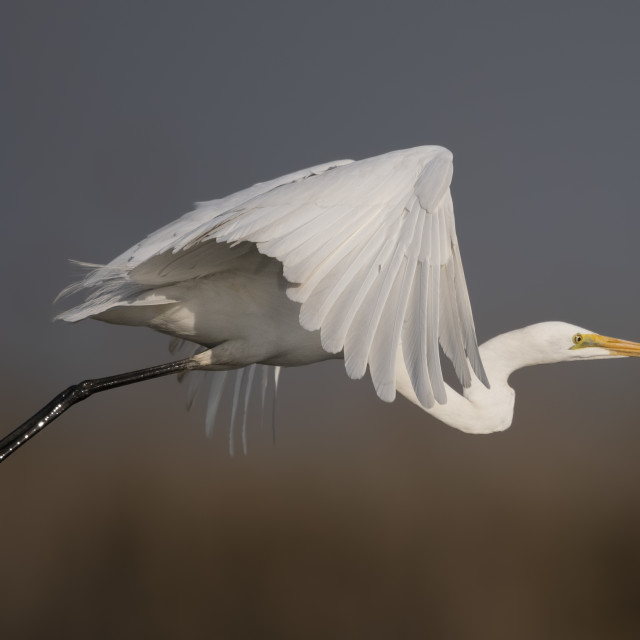 """The Great White Egret flying"" stock image"