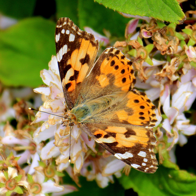 """""""Painted Lady Butterfly."""" stock image"""
