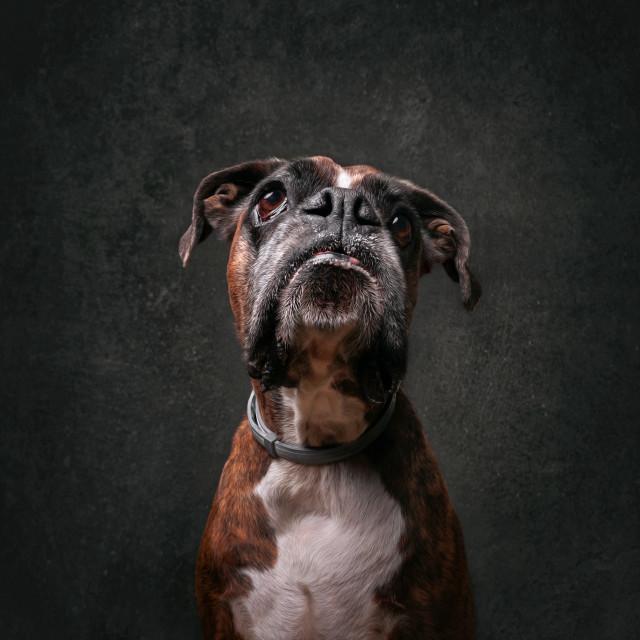 """""""Boxer portrait"""" stock image"""
