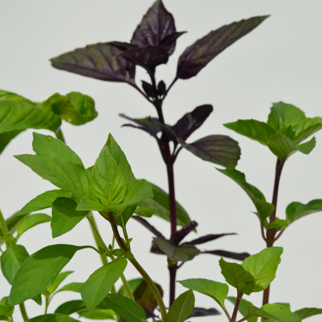 """Purple Basil"" stock image"