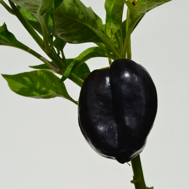 """Purple Chilli"" stock image"