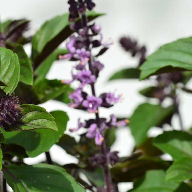 """Basil plant with flower"" stock image"