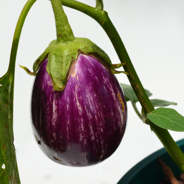 """Egg Plant"" stock image"