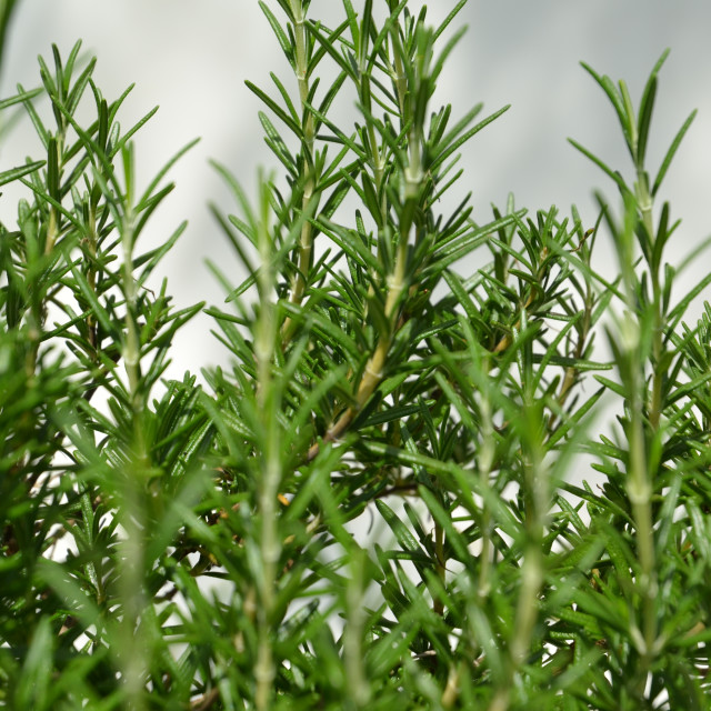 """Rosemary"" stock image"