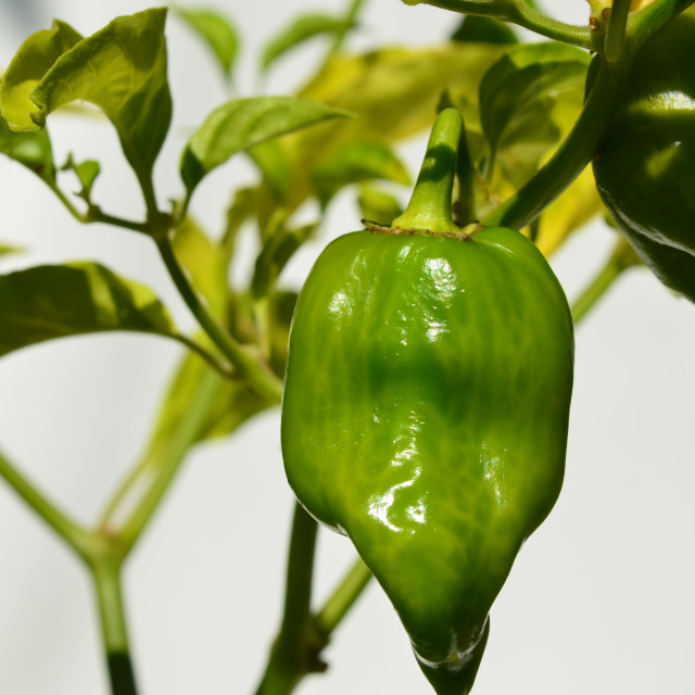 """Chilli"" stock image"