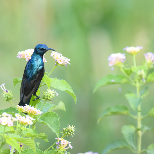 """Beautiful Male Purple Sunbird (Nectarinia asiatica) feeding from"" stock image"