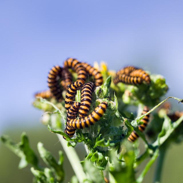 """Cinnabar Moth Caterpillars"" stock image"