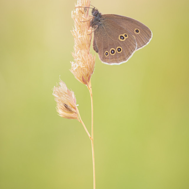 """""""Ringlet Butterfly on Grass Head"""" stock image"""