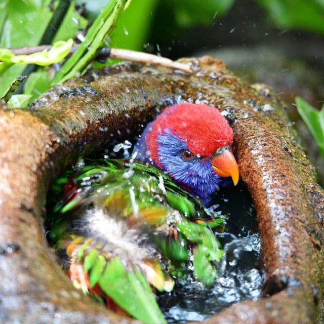 """Parrot taking bath !"" stock image"