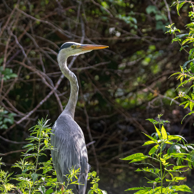 """""""Gray heron on the edge of a pond"""" stock image"""