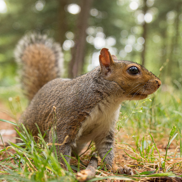 """""""Portrait of gray squirrel in the forest"""" stock image"""