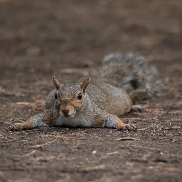 """""""Gray squirrel refreshes himself lying on the ground"""" stock image"""