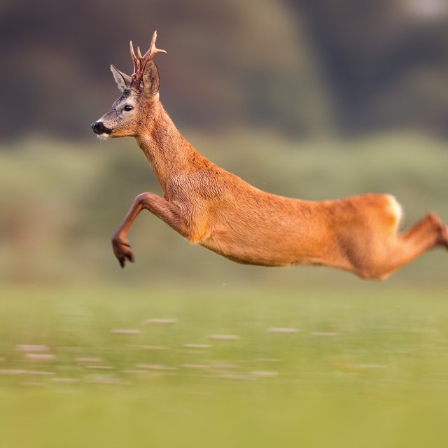 """Roe deer buck jumping high in summer nature while running fast"" stock image"