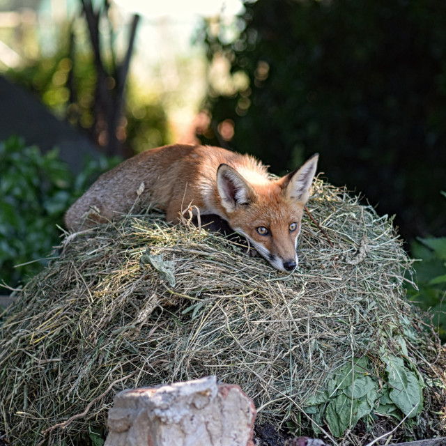 """Fox relaxing"" stock image"