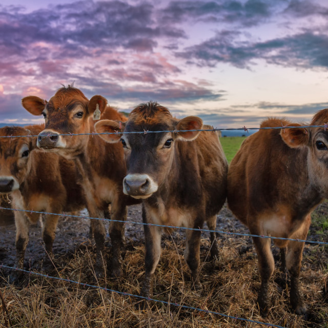 """""""A Group of Friendly Cows at the Fence"""" stock image"""