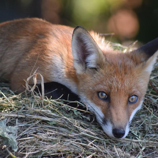 """""""Fox looking at camera"""" stock image"""