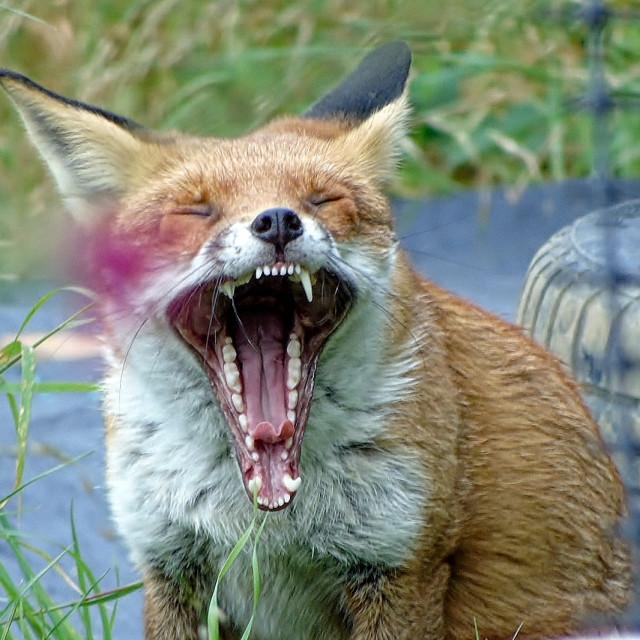 """""""Fox yawning."""" stock image"""