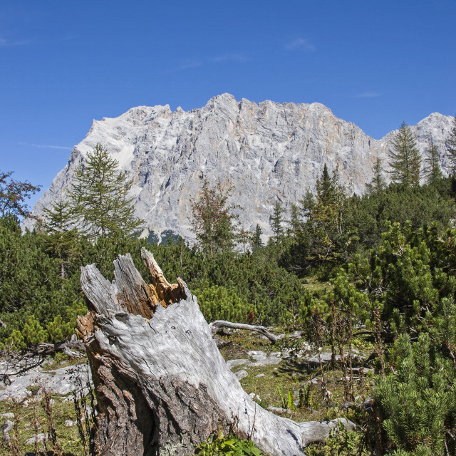 """Root stock with Zugspitze"" stock image"