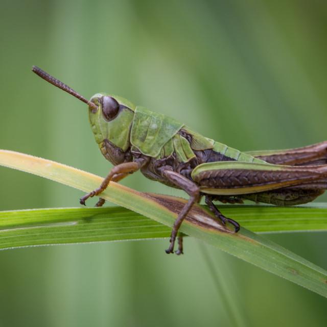 """A Meadow Grasshopper"" stock image"