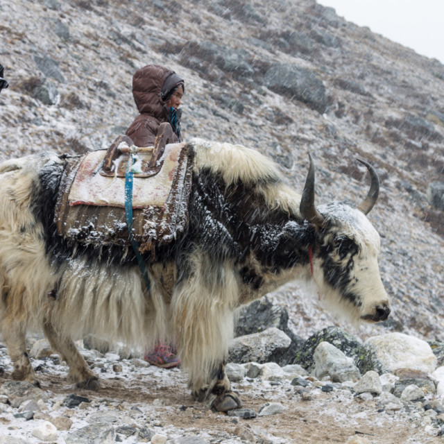 """""""A Sherpa couple with a yak en-route from the Everest Base Camp"""" stock image"""