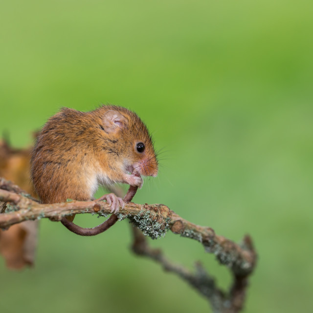 """An Eurasian harvest mouse grooming its tail"" stock image"