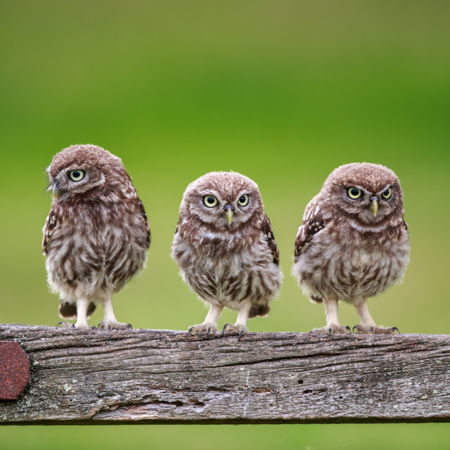 """Three musketeers - Little owl fledglings waiting to be fed"" stock image"