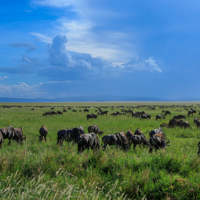 """""""A Great migration scene - Wildebeests following storm clouds"""" stock image"""