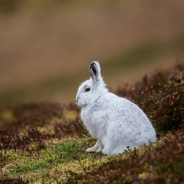 """A mountain hare in winter fur"" stock image"