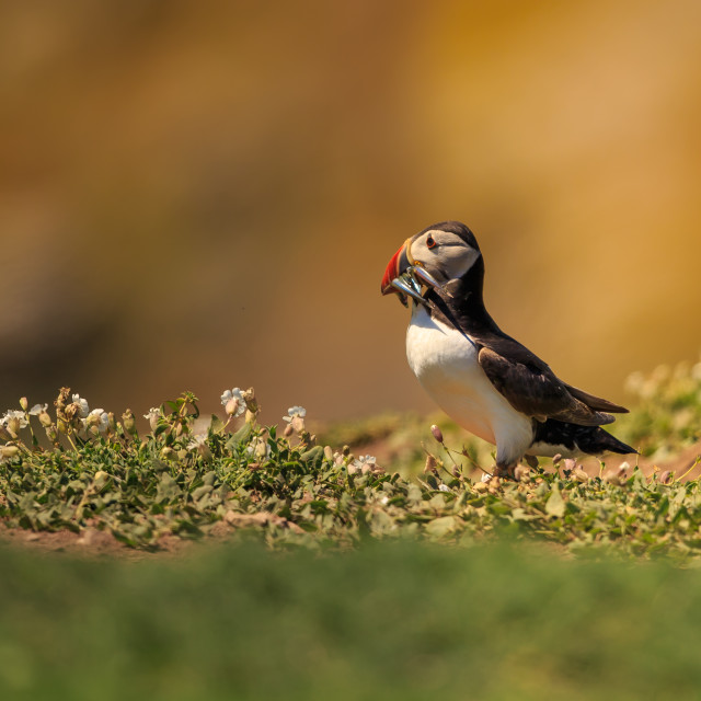 """An Atlantic puffin returns home during the golden hour"" stock image"