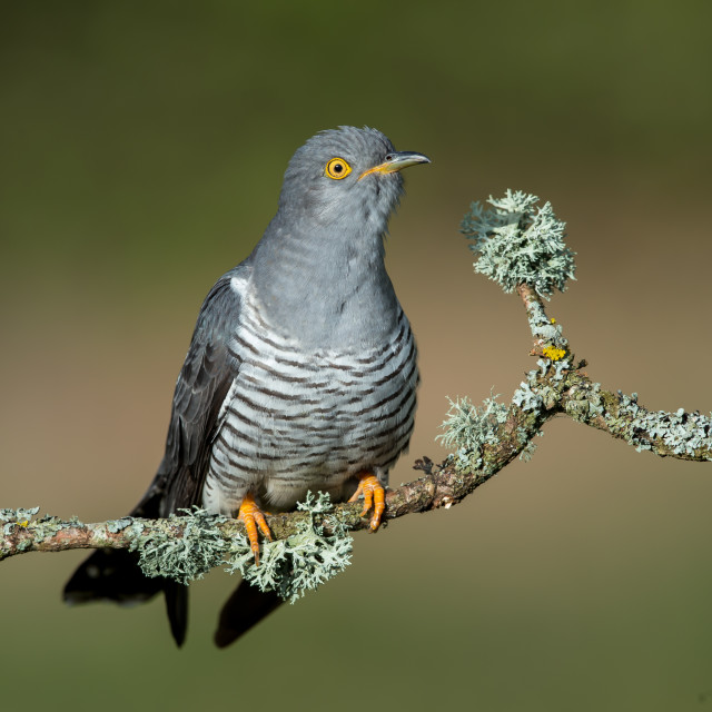"""A Common cuckoo on a beautiful perch"" stock image"
