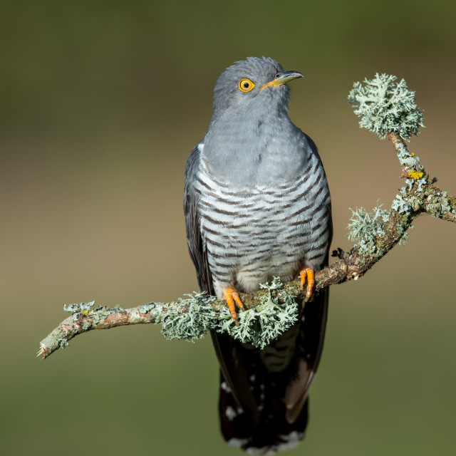 """""""A Common cuckoo perched on a beautiful perch"""" stock image"""