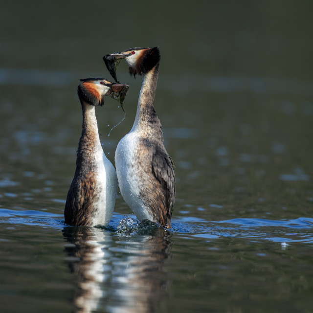 """""""Great crested grebes courtship"""" stock image"""
