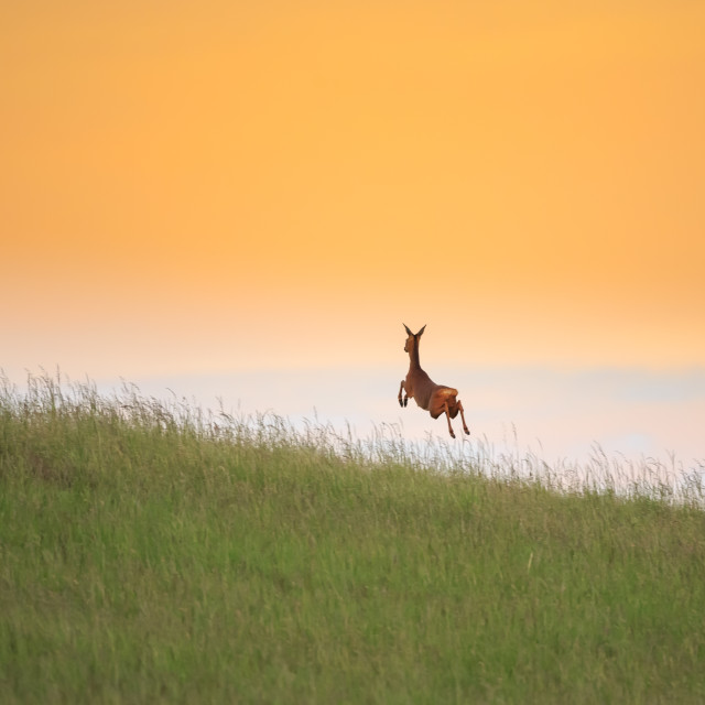 """A leap into the unknown - Roe deer leaping across the meadows"" stock image"