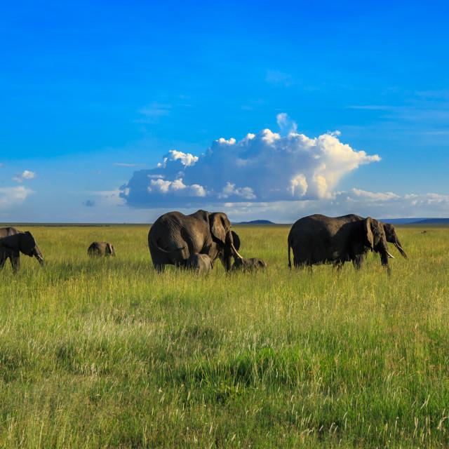 """Wild African Elephants grazing in the Serengeti"" stock image"