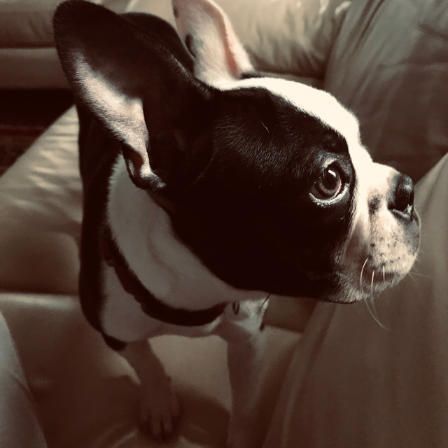 """Boston Terrier looking"" stock image"