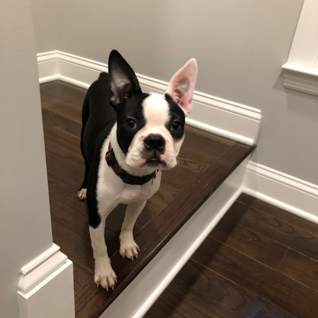 """Boston Terrier stand on the stairs"" stock image"