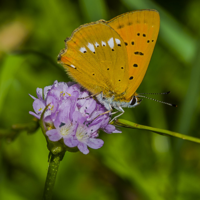 """Scarce Copper Butterfly"" stock image"