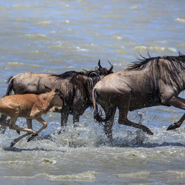 """River crossing - Blue wildebeest"" stock image"