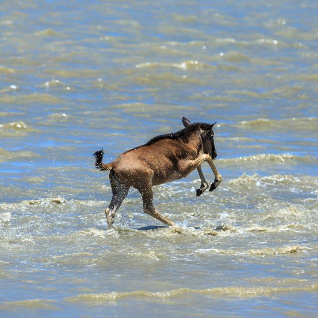 """River crossing - Blue wildebeest calf"" stock image"