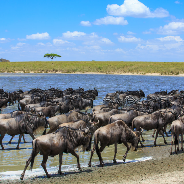 """A Great migration scene - Large herds of Wildebeest and Zebras"" stock image"